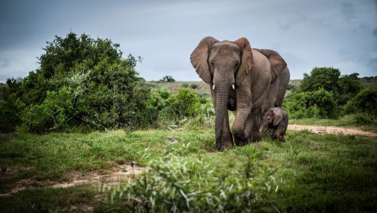 Elephant and baby in green vegetation