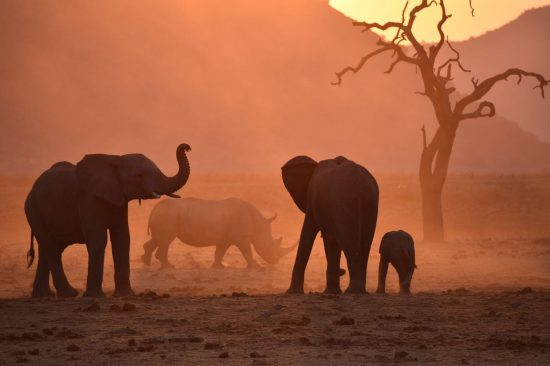 Elephants in dusty sunset
