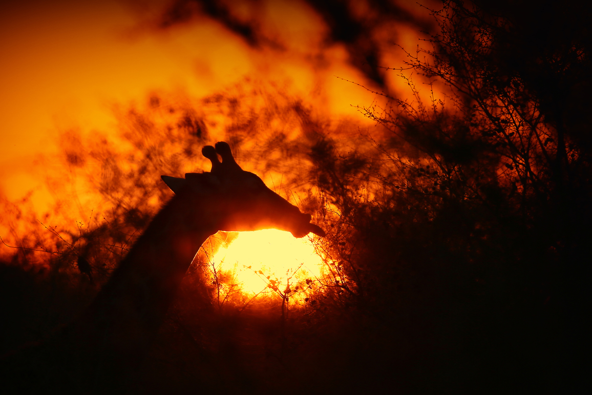 Conny Müller: Breakfast in the Kruger National Park, sunrise with a giraffe silhouette
