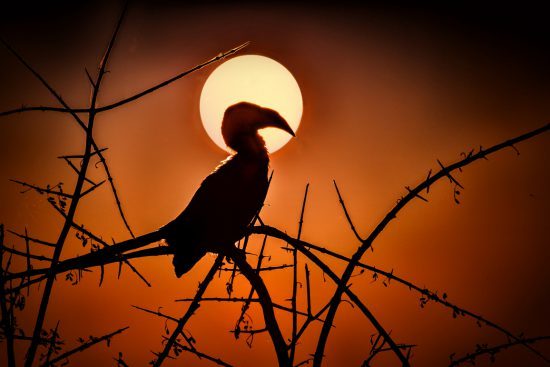 hornbill with sunset in the background
