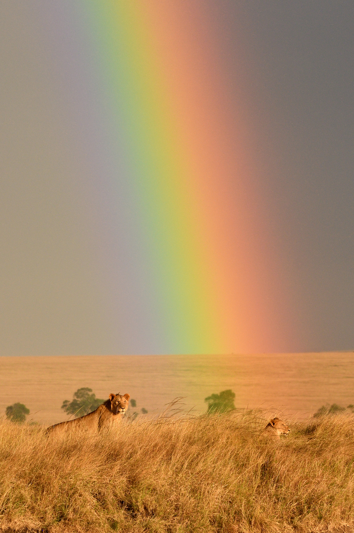 François Jorion: Rainbow in Kenyas savannah