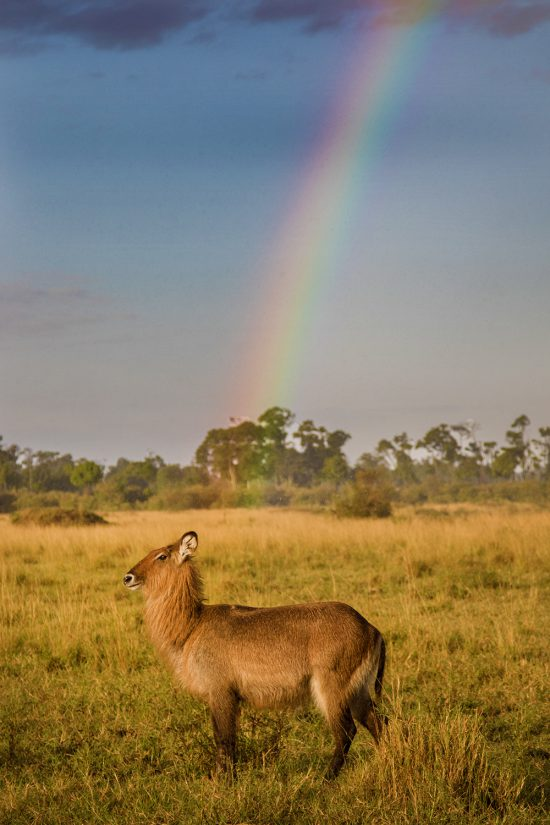 Antelope at the end of the rainbow in Kenya, Africa.