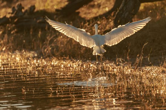 egret flying in Africa