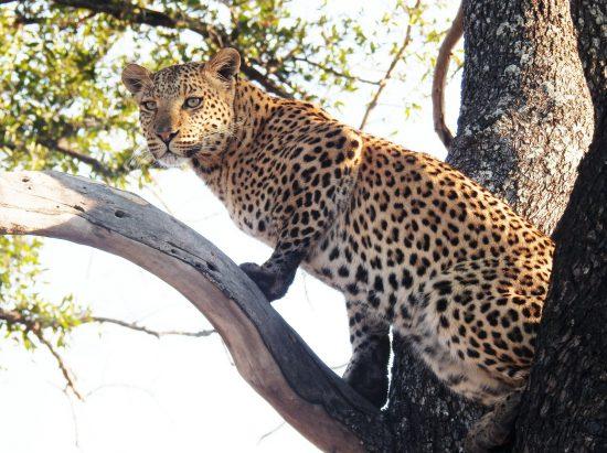 A leopard female sitting in a tree