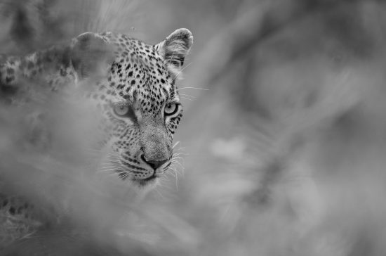 A leopard looking through the grass in black and white