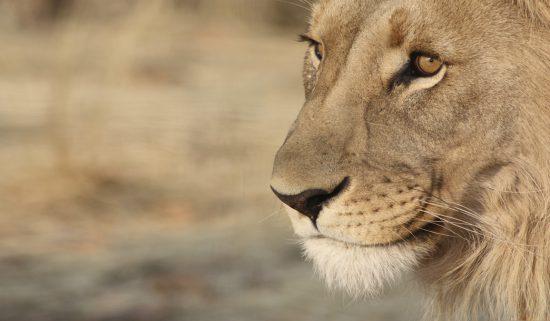 Closeup of a lion