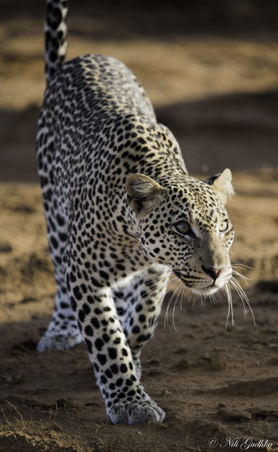 Close up of leopard walking