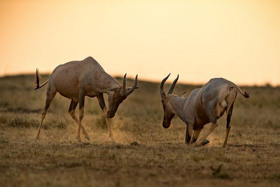 Topi antelope fighting