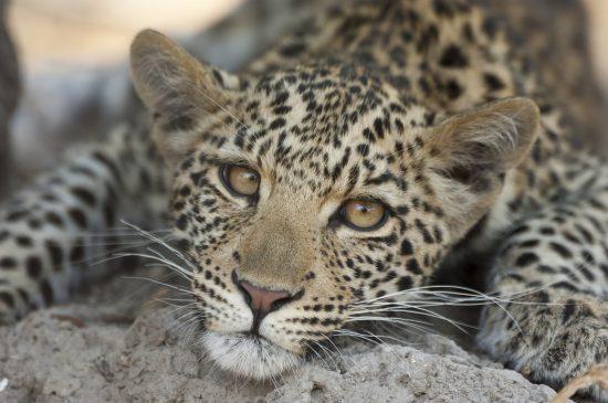 Close up of leopard cub resting