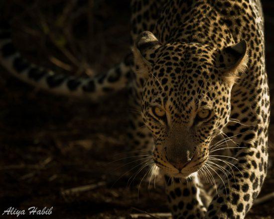 Leopard walking against dark background