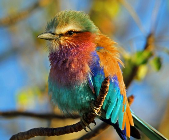 A lilac breasted roller in Africa