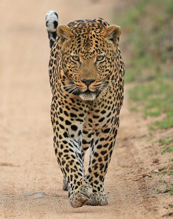 Leopard walking towards camera on a dirt road