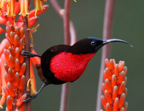 A scarlet chested sunbird in the flowers
