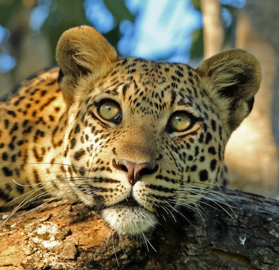 A close up of a leopards face