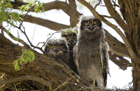 3 owls looking at the camera