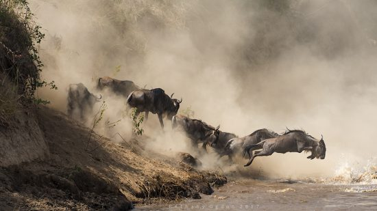 Wildebeest crossing a river in the Great Migration