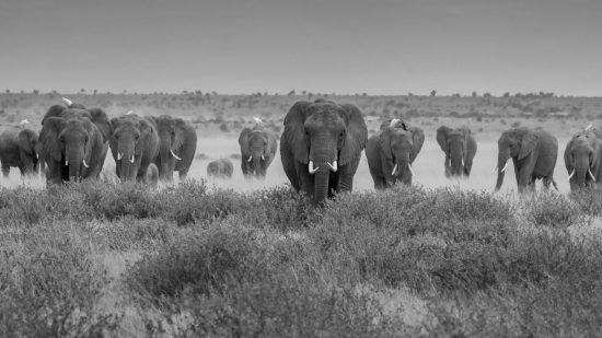 Elephant herd waking in black and white
