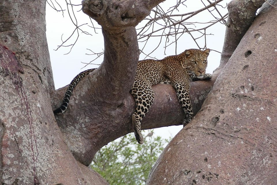 Leopard lying on tree branch