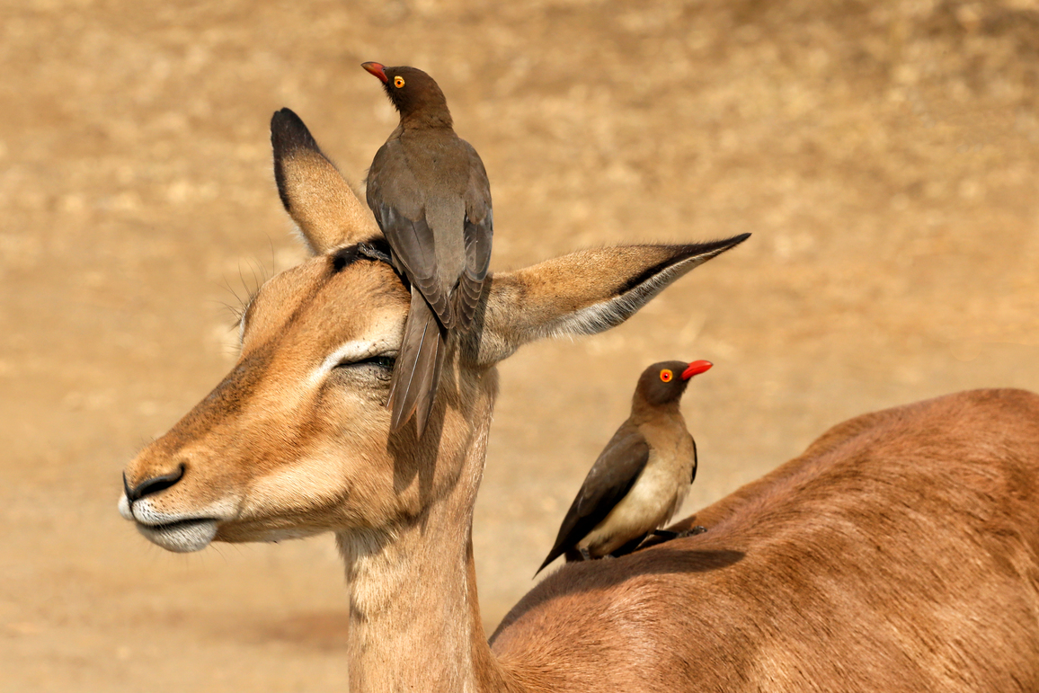 red-billed oxpecker on an antelope