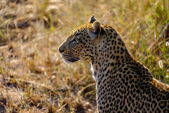 Leopard hunting in the dry grass of Africa