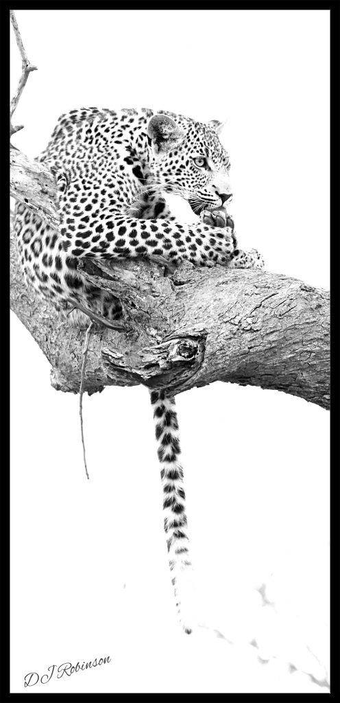 Leopard sitting in tree branch and licking its paws