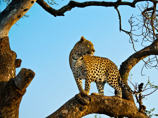 Leopard standing in a tree at sunrise