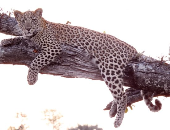 Leopard lying on a branck in the Okavango of Botswana