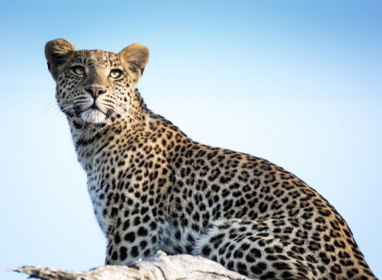 A leopard looking into the sun
