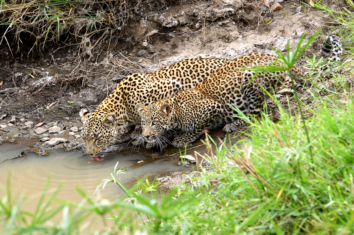 Leopard mom drinking with her cub in a puddle, Kenya