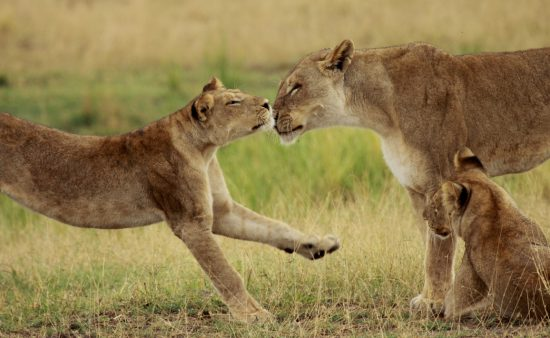 Lion and her cub playing