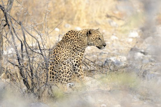A leopard looking to begin hunting for its next prey