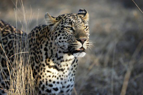 Male leopard in the beautiful Sabi Sabi