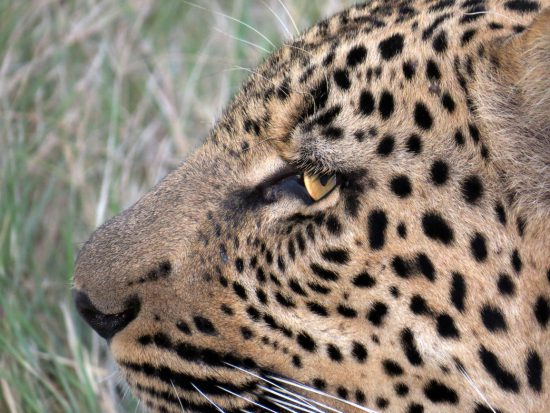 A side profile of a leopard's face