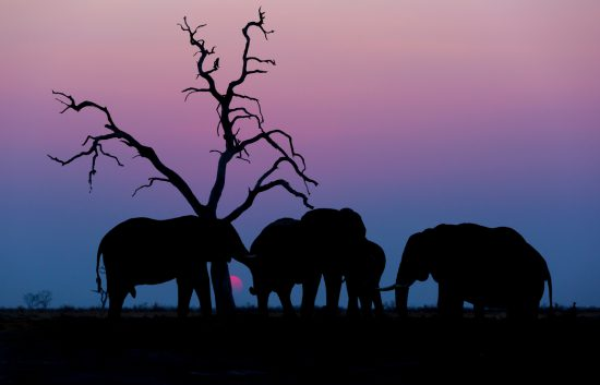Elephants with a pink and blue sunset