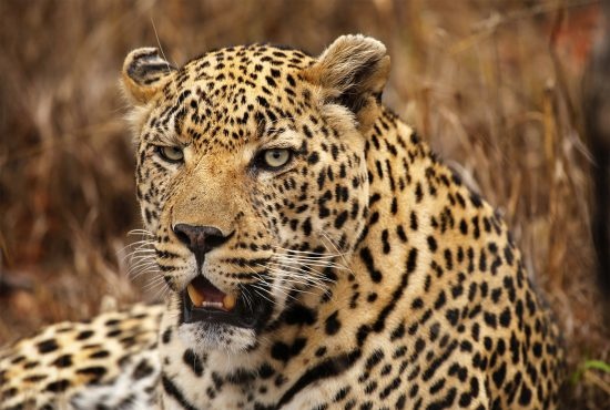 A close up of a male leopard with scars