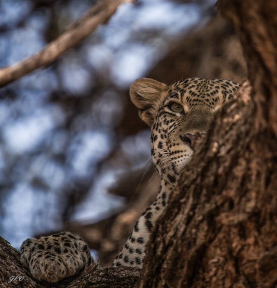 A leopard hiding behind a branch