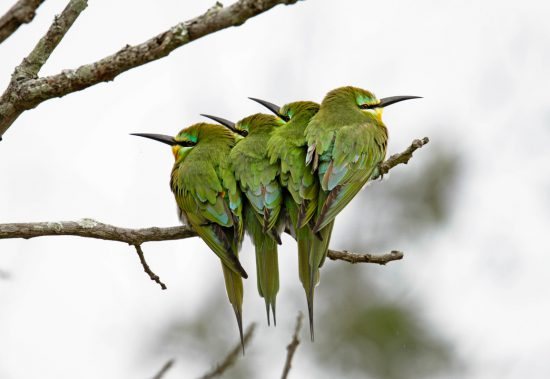 blue cheecked bee eaters sitting together