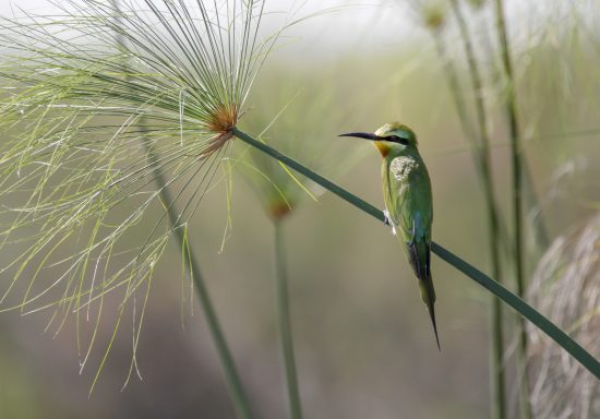 Bee eater resting on a reed