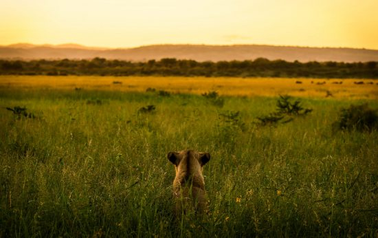 Lion stalking in the long grass