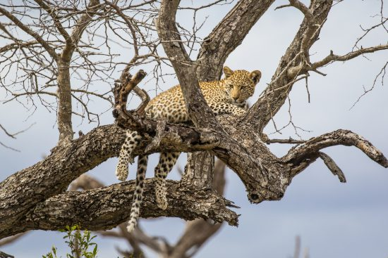 A leopard cub resting in a tree