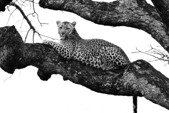 A leopard resting in a tree in the Sabi Sands