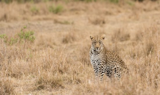 Leopard camouflaged in grass