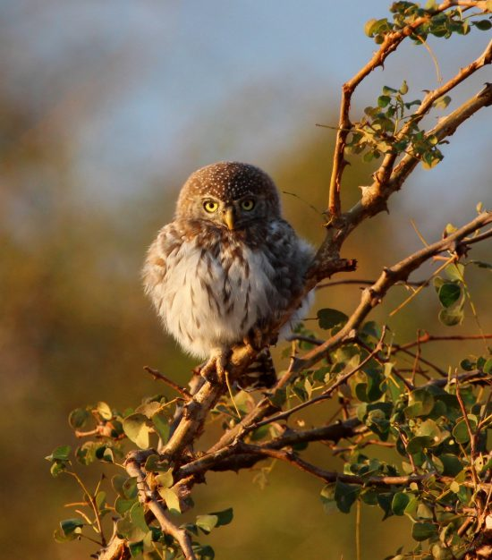 Pearl spotted owl sitting on a branch in Africa