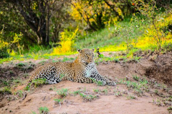 Leopard lying down on lush green grass in Kenya