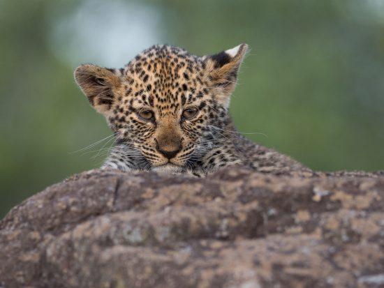 A leopard cub closeup
