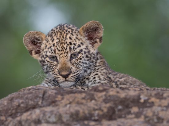 A leopard cub/baby on a branch