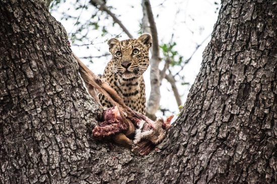 A leopard in a tree with a carcass