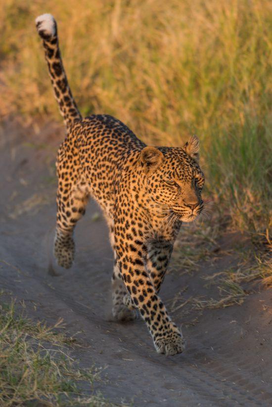 Leopard running along sandy track in grass