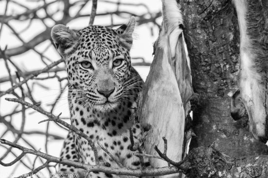 A closeup of a leopard with its prey up a tree