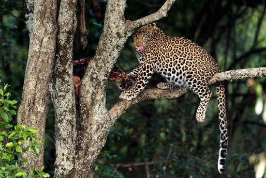 A leopard with a carcass up a tree